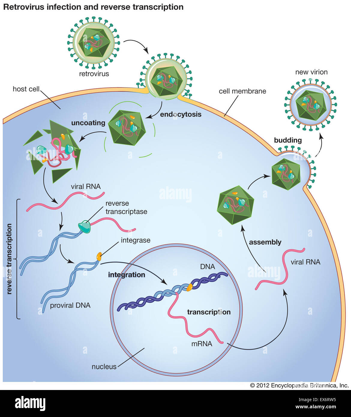 hight resolution of retrovirus infection and reverse transcription stock image