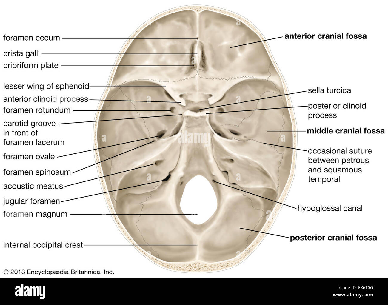 the human brain in photographs and diagrams diagram labeled enchanted learning internal surface of skull stock photo: 84973072 - alamy