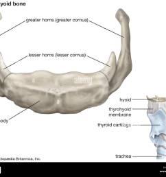 diagram of hyoid bone wiring diagrams long diagram of hyoid bone [ 1300 x 1074 Pixel ]