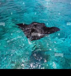 manta ray swimming in the ocean water tahiti stock image [ 1300 x 956 Pixel ]