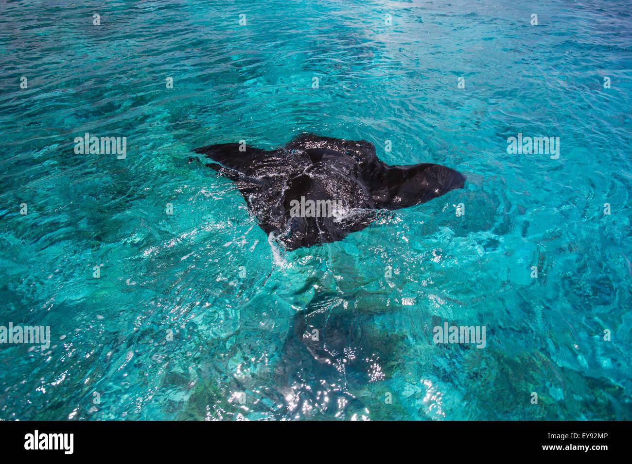 hight resolution of manta ray swimming in the ocean water tahiti stock image