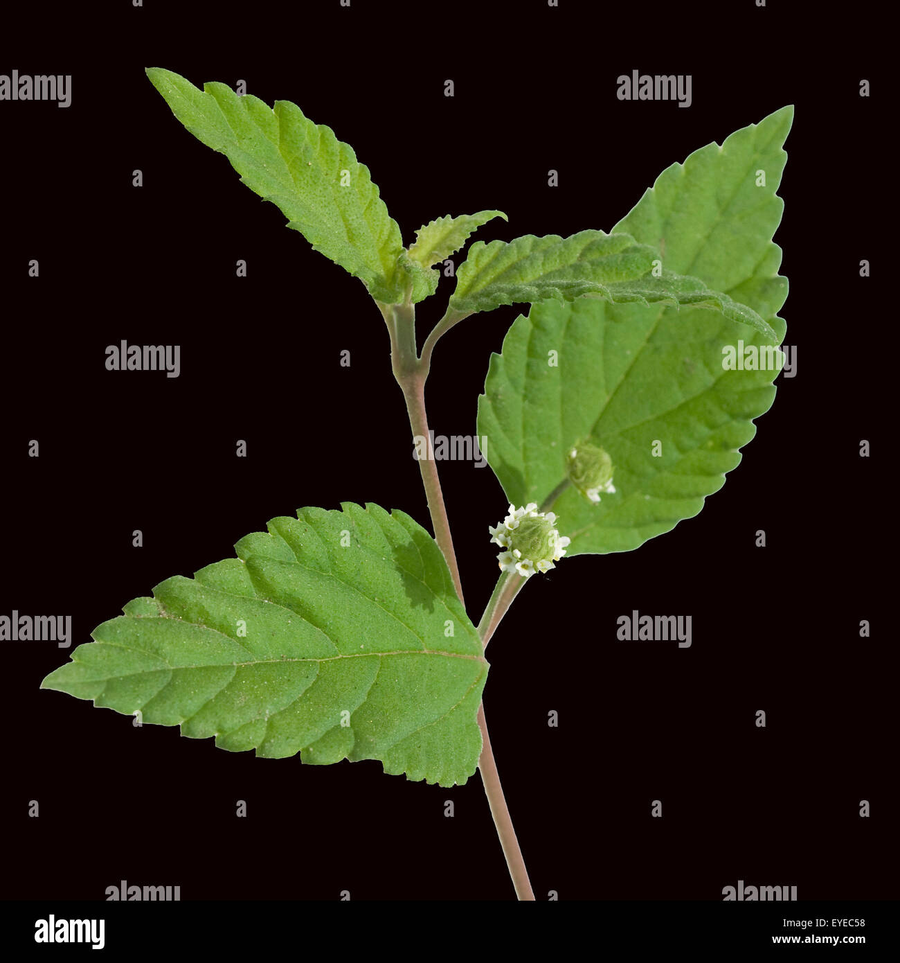 Teppich Verbene Lippia Stock Photos And Lippia Stock Images Alamy