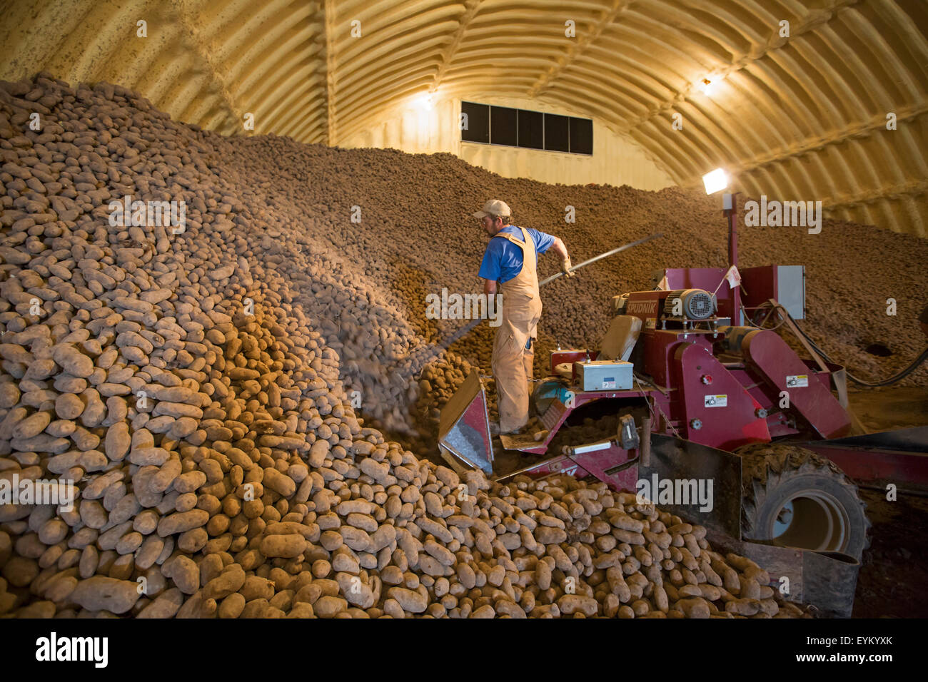 Shelley Idaho  A worker loads potatoes from a farms