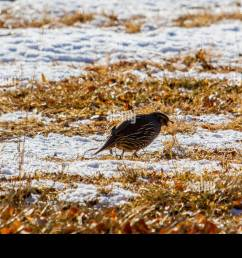 a valley quail on a snowy winter day in the northern nevada high desert stock [ 1300 x 956 Pixel ]