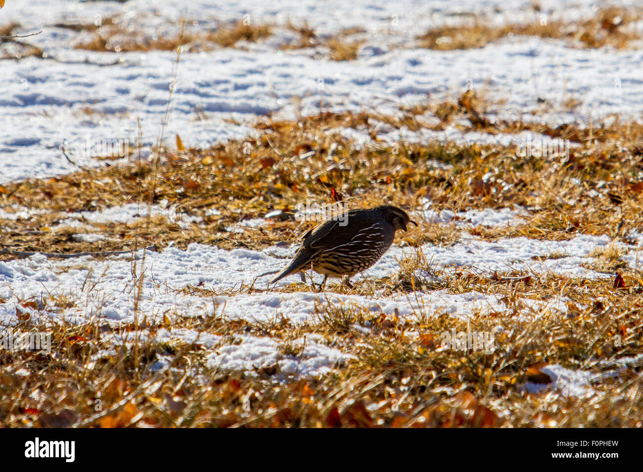 hight resolution of a valley quail on a snowy winter day in the northern nevada high desert stock