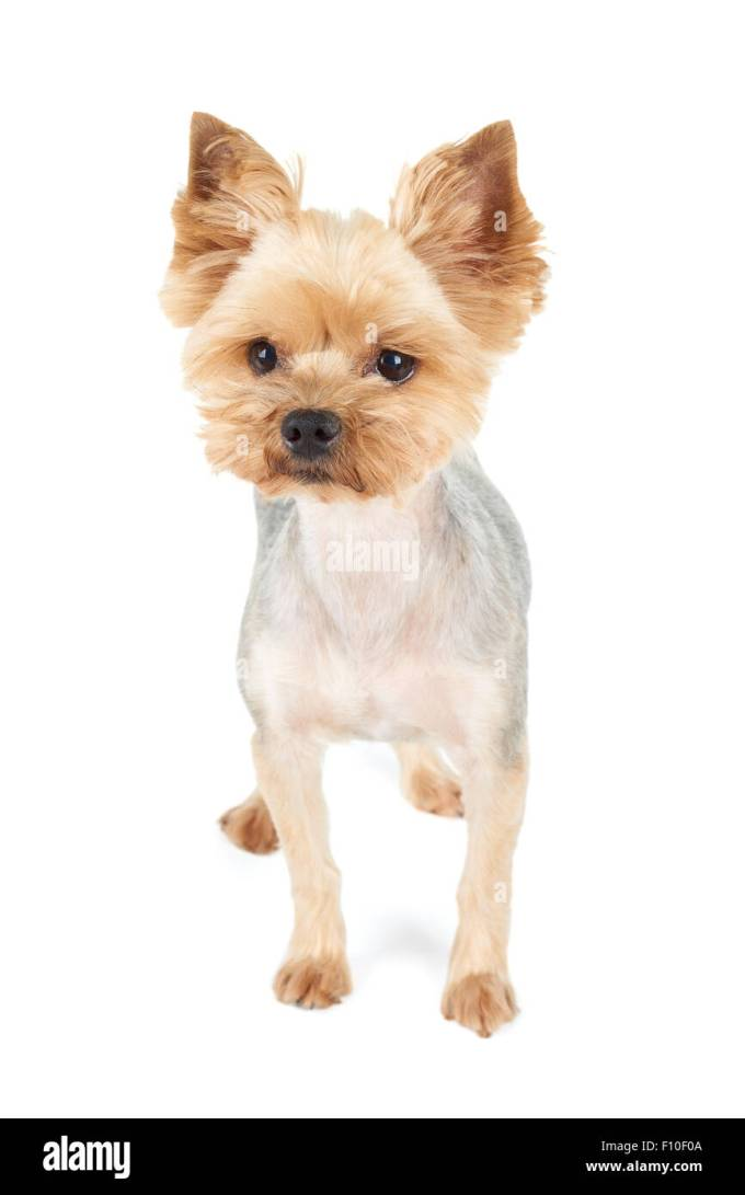 yorkshire terrier with short haircut stands in the studio on