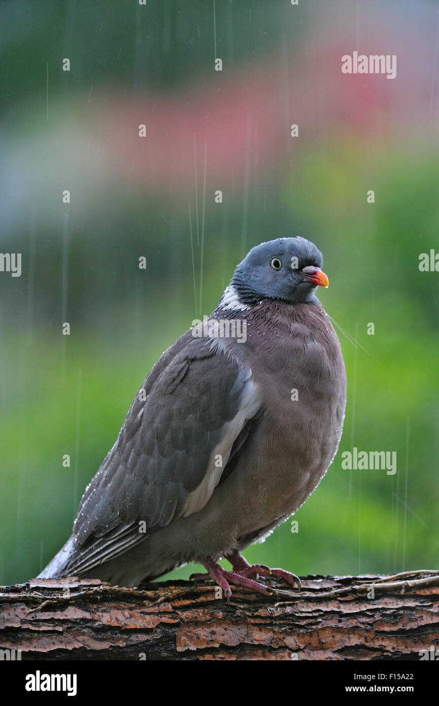 20+ Pigeon Raincoat Pictures and Ideas on STEM Education Caucus