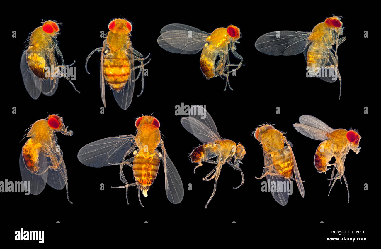 Fruit Fly Mutations Drosophila Sp Darkfield