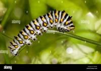 Beautiful black, white and yellow Black Swallowtail ...