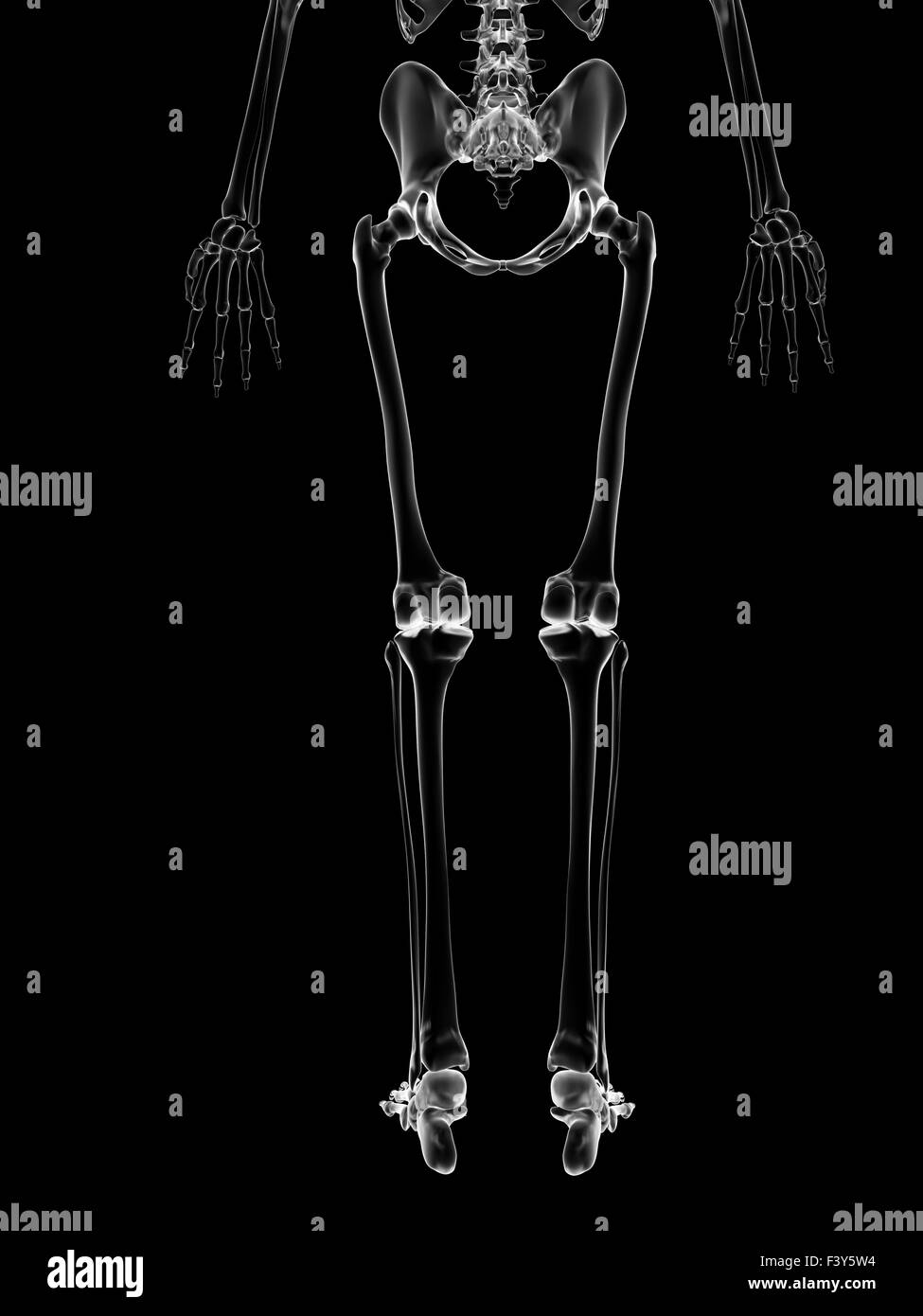 hight resolution of medical illustration of the leg bones stock image