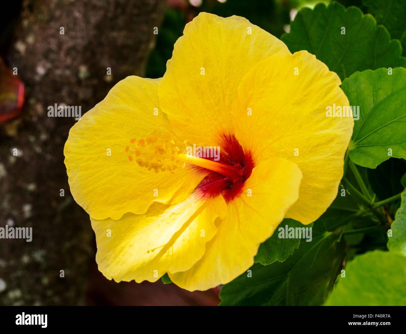 Hawaiian Hibiscus Yellow Hibiscus Hibiscus Brackenridgei State Stock Photo Royalty Free