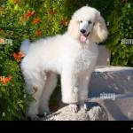 White Standard Poodle Puppy Standing On A Rock Mr Pr Stock Photo Alamy