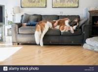 Woman and Saint Bernard dog laying on sofa Stock Photo ...
