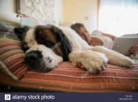 Saint Bernard Dog Not Puppy Stock Photos & Saint Bernard ...