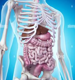 medically accurate illustration of the digestive system stock image [ 974 x 1390 Pixel ]