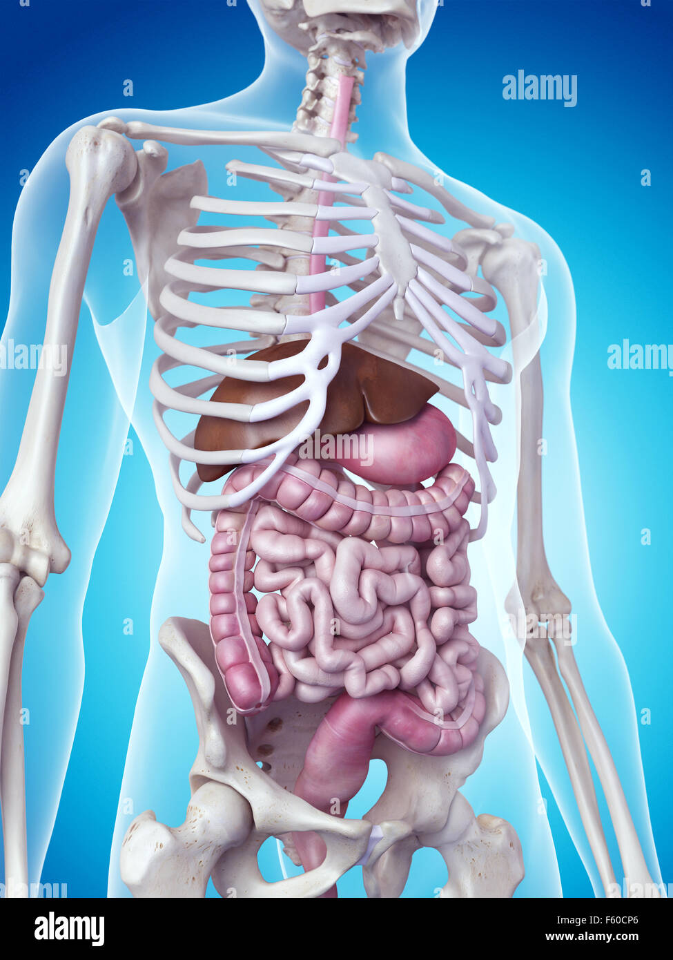 hight resolution of medically accurate illustration of the digestive system stock image