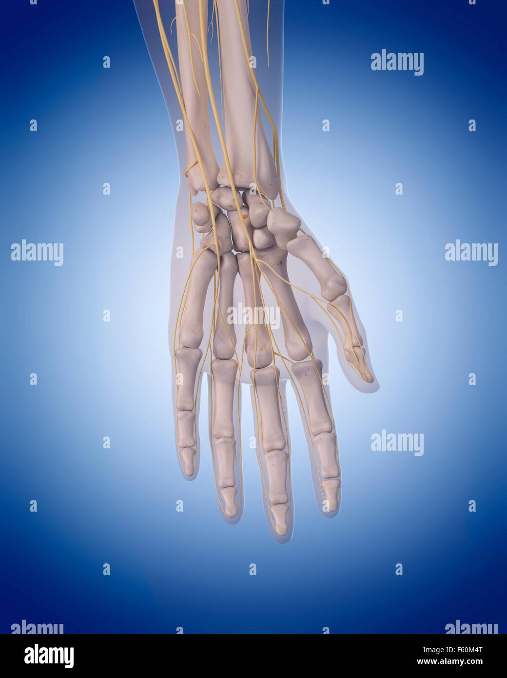 hand nerves diagram 2008 ford f350 power mirror wiring human illustration stock photos medically accurate of the image