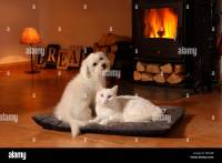 Domestic cat. Maltese and white cat in front of a ...