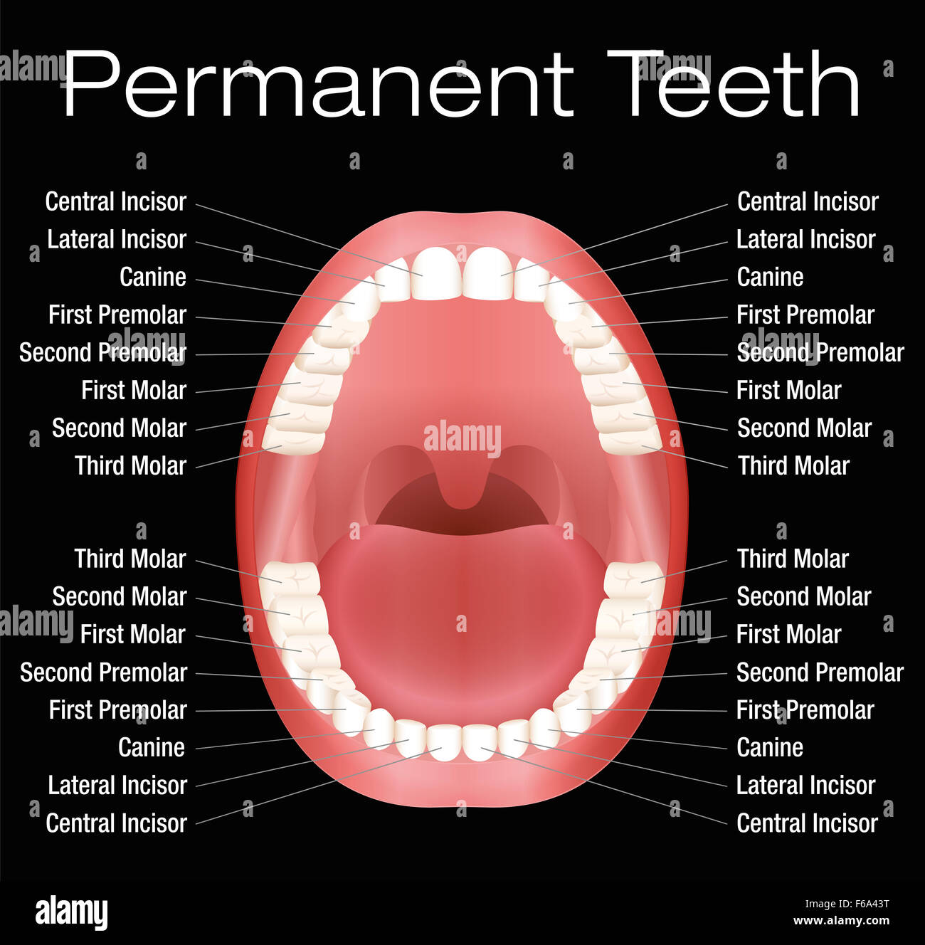 Permanent Teeth Stock Photos Amp Permanent Teeth Stock