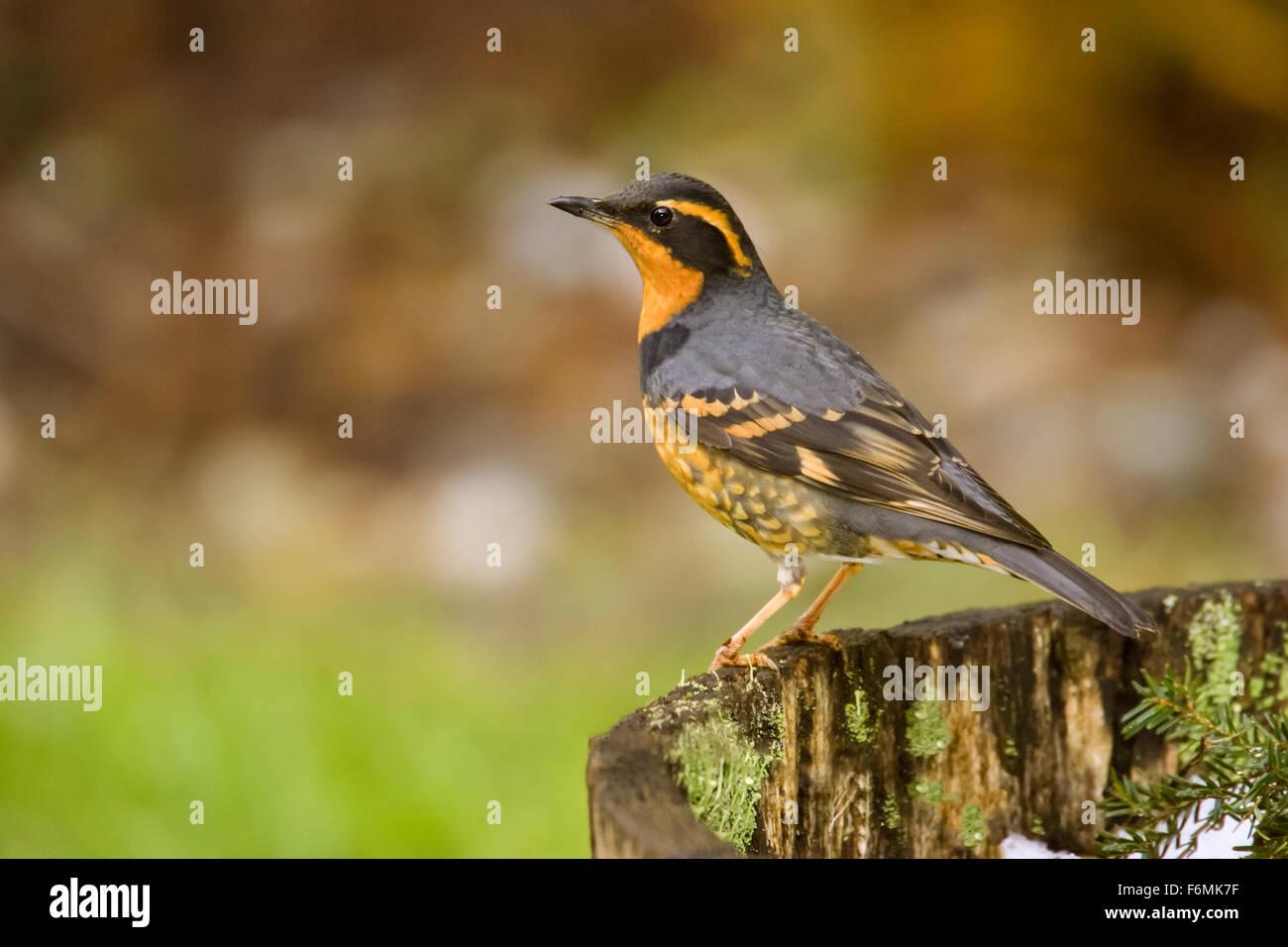 Western Washington Usa United States Bird Birds Thrush