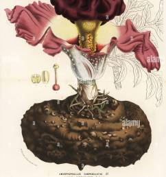 elephant foot yam or whitespot giant arum amorphophallus campanulatus handcoloured lithograph from louis van [ 1018 x 1390 Pixel ]