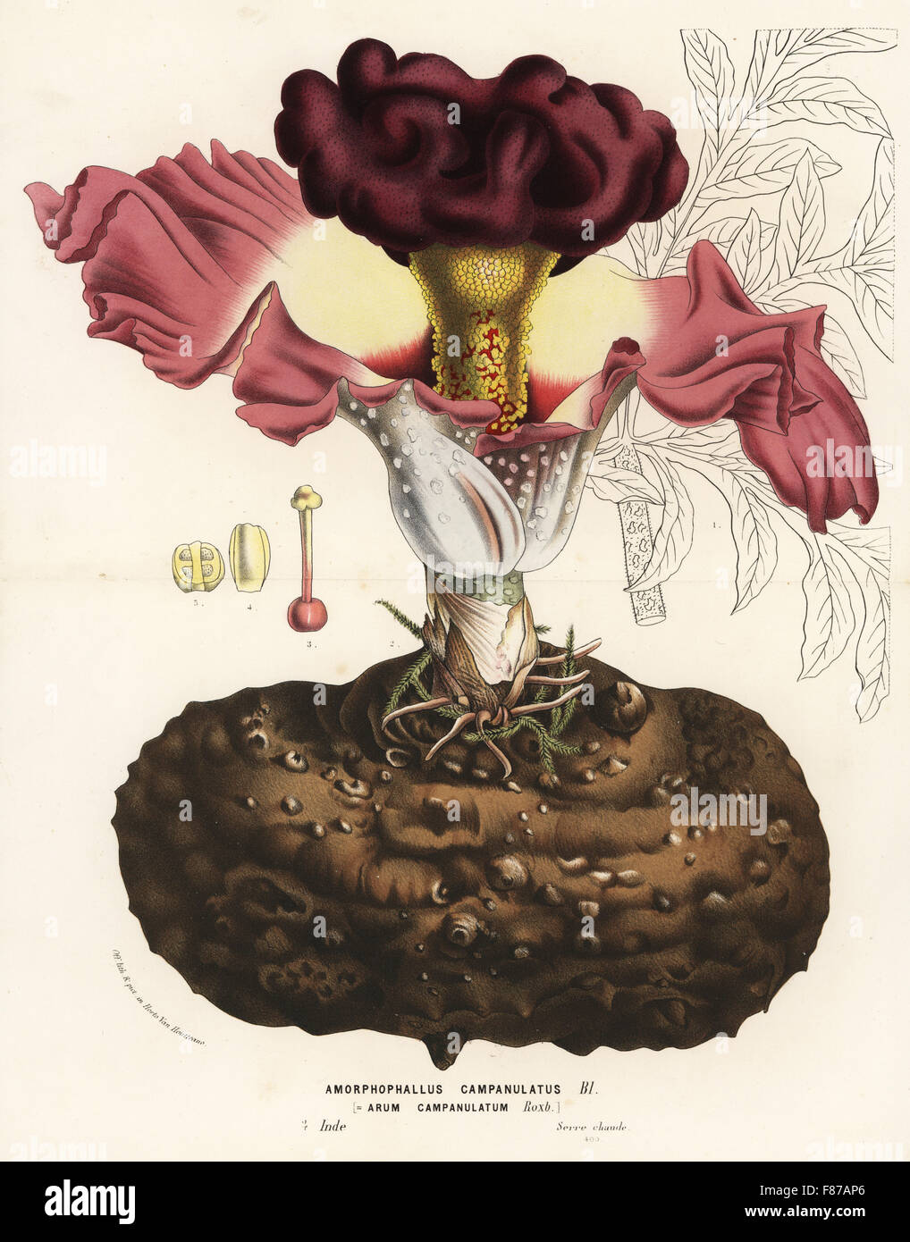 hight resolution of elephant foot yam or whitespot giant arum amorphophallus campanulatus handcoloured lithograph from louis van