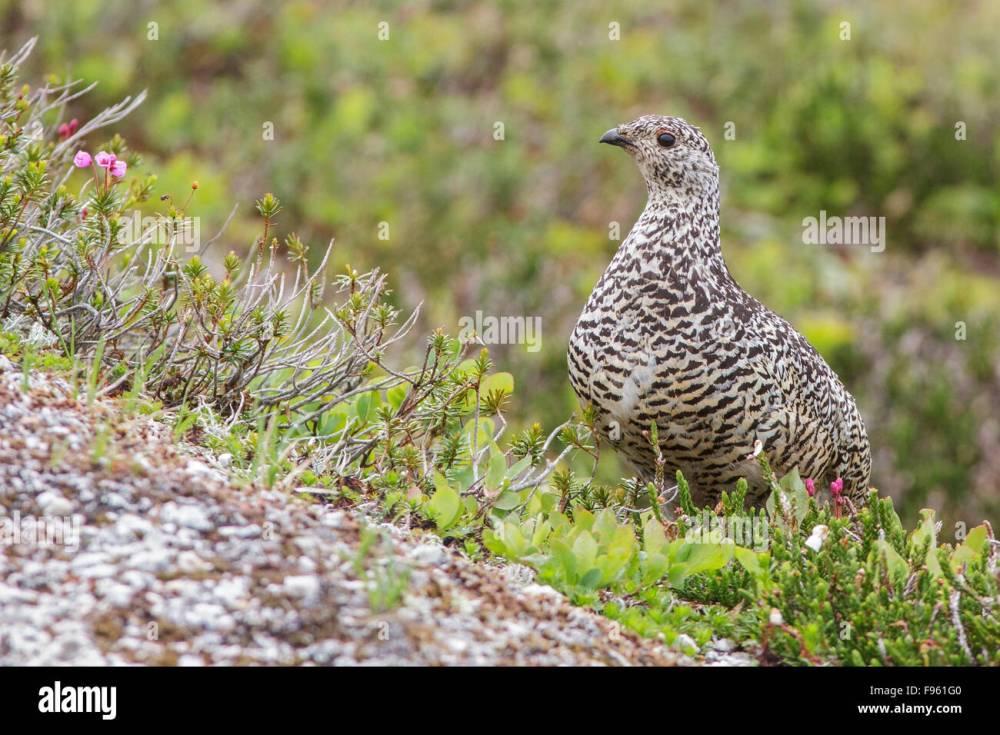 medium resolution of whitetailed ptarmigan lagopus leucurus in the alpine habitat of british columbia canada