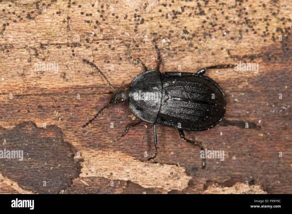 Flesh Eating Scarab Beetles - Year of Clean Water