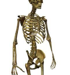 male skeleton torso stock image [ 1011 x 1390 Pixel ]