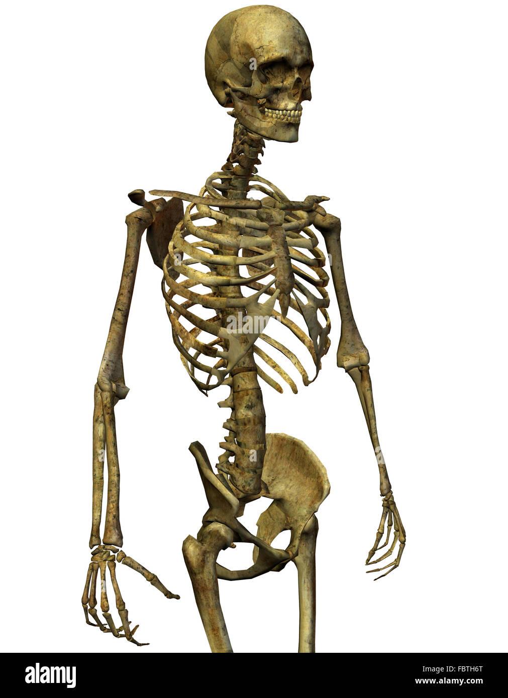 hight resolution of male skeleton torso stock image