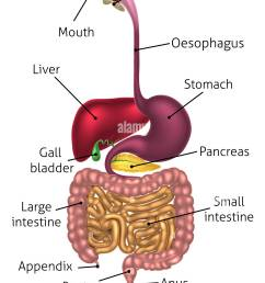 human digestive system digestive tract or alimentary canal including text labels stock image [ 968 x 1390 Pixel ]