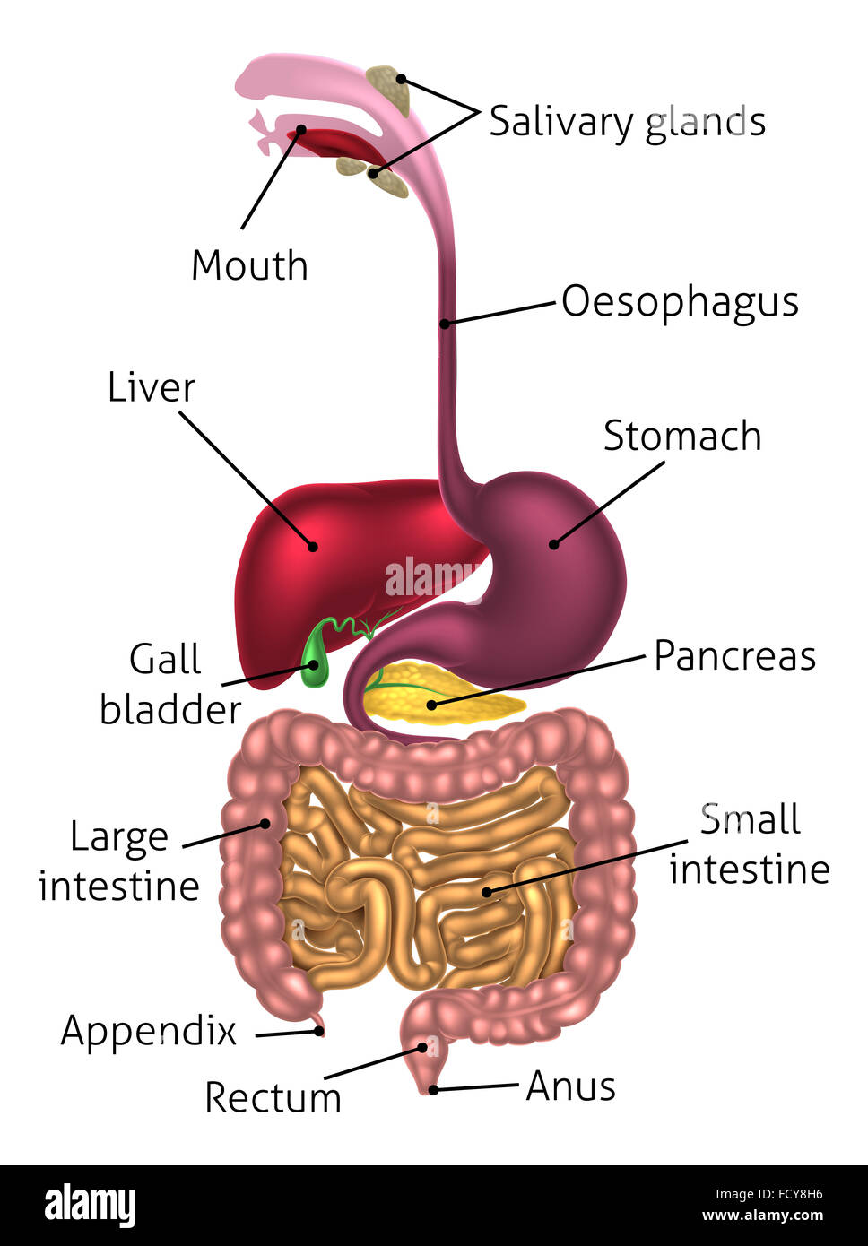 medium resolution of human digestive system digestive tract or alimentary canal including text labels stock image