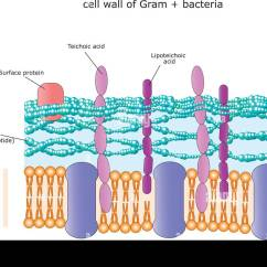 Gram Positive Cell Wall Diagram Discovery 2 Headlight Wiring Teichoic Acid Stock Photos And Images
