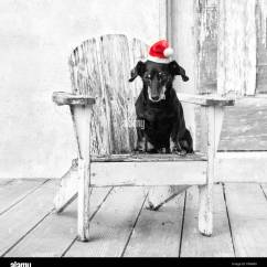 Distressed Adirondack Chairs Tribecca Home Dining Miniature Tiny Dachshund Dog Sits In A White Chair By Barn Wearing Red Santa Hat
