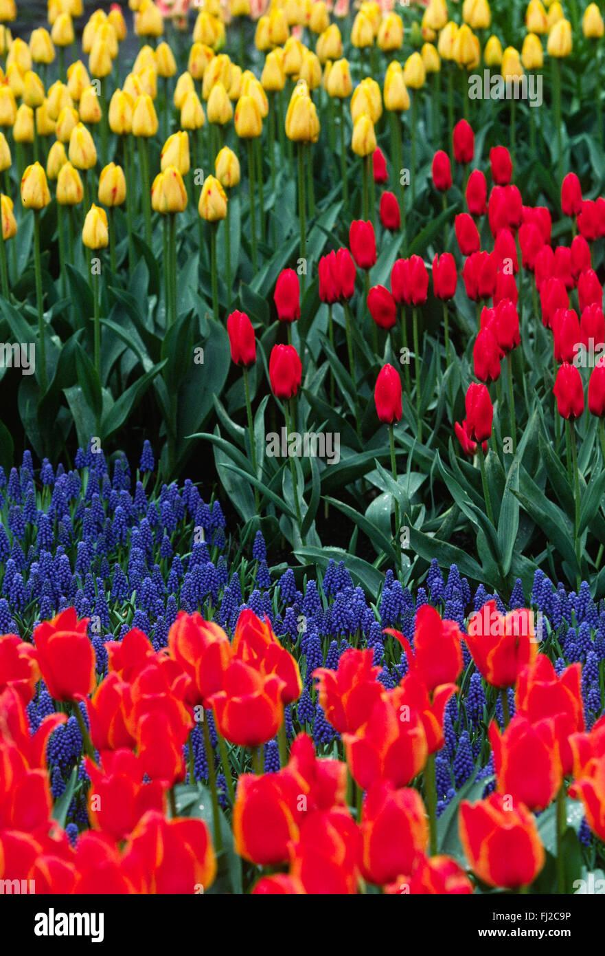 Niederlande Holland Tulpen Blumen Feld Stock Photos  Niederlande Holland Tulpen Blumen Feld
