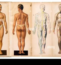 old vintage male medical anatomy charts stock image [ 1300 x 941 Pixel ]