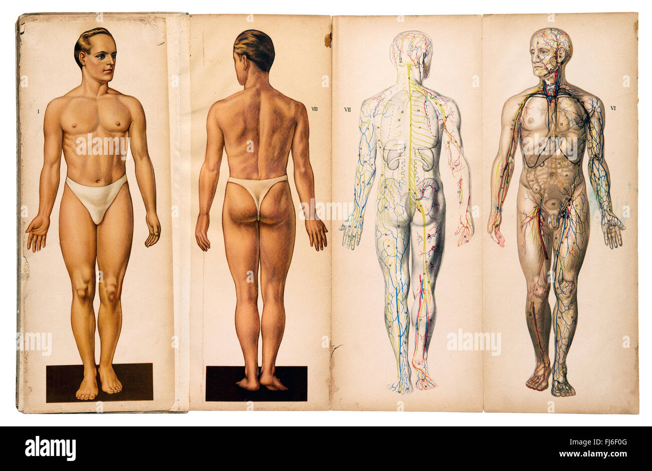 hight resolution of old vintage male medical anatomy charts stock image