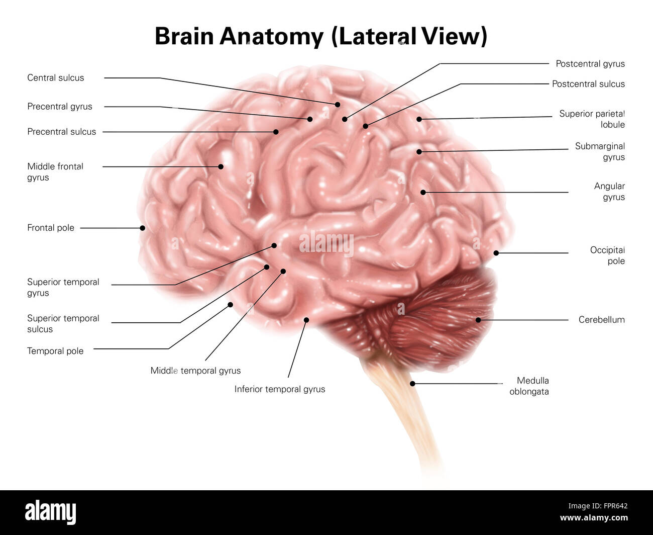 frontal brain diagram no labels viper winch wiring human anatomy lateral view stock photo royalty