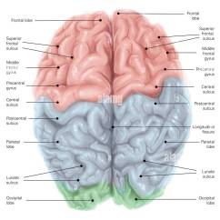 Frontal Brain Diagram No Labels 1971 Triumph Tr6 Wiring Superior View Of Human With Colored Lobes And Stock Photo, Royalty Free Image ...