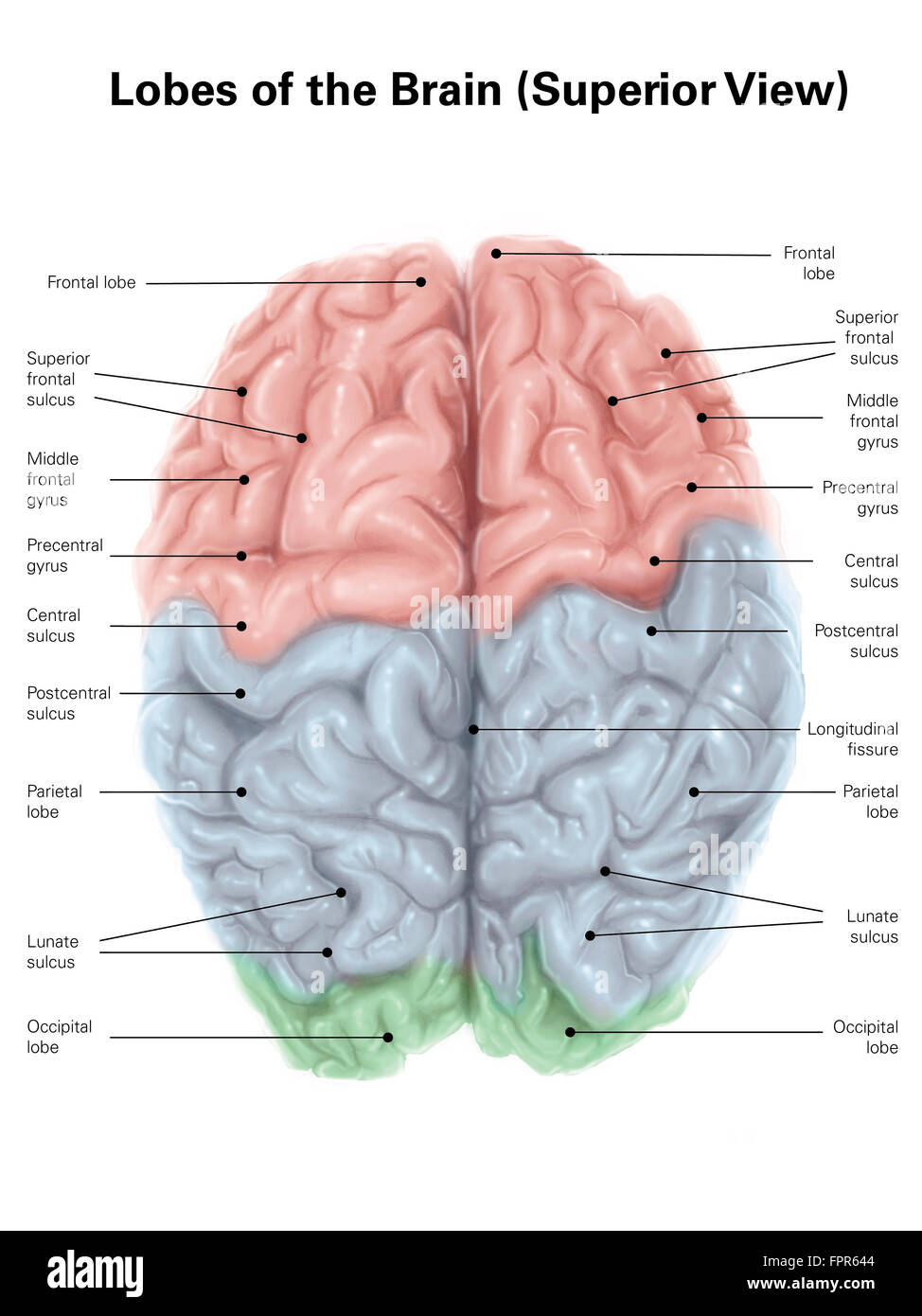 frontal brain diagram no labels 2004 honda odyssey radio wiring superior view of human with colored lobes and stock photo, royalty free image ...