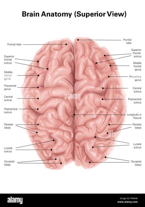 small resolution of human brain anatomy superior view