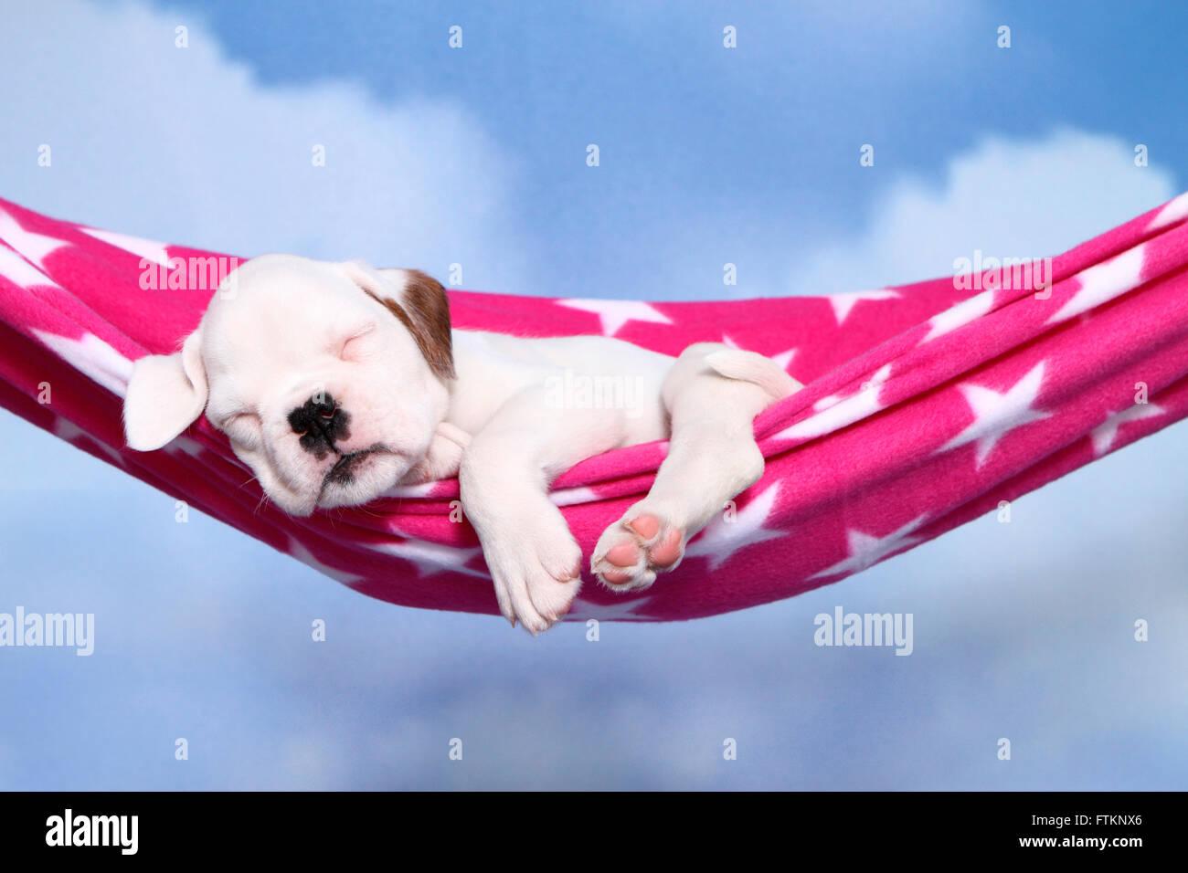 German Boxer Puppy 6 Weeks Old Sleeping In A Hammock