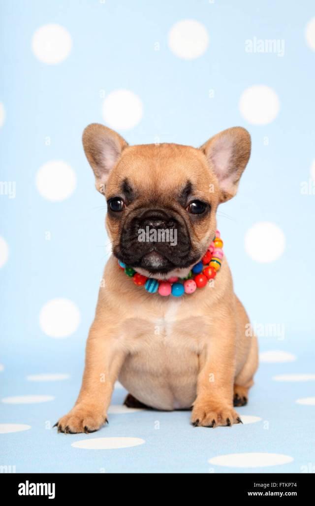 french bulldog. puppy (6 weeks old) sitting, wearing multi