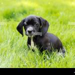 Black Beagle High Resolution Stock Photography And Images Alamy