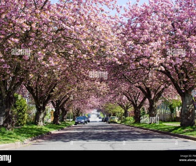 Japanese Cherry Blossom Trees Bloom On A Street In East Vancouver British Columbia Canada