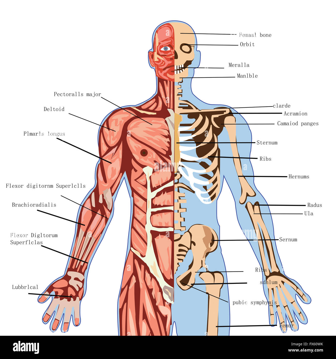 Free Worksheet On Health And Human Biology