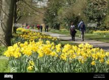 Daffodils In Full Bloom Daffodil Walk Wentworth