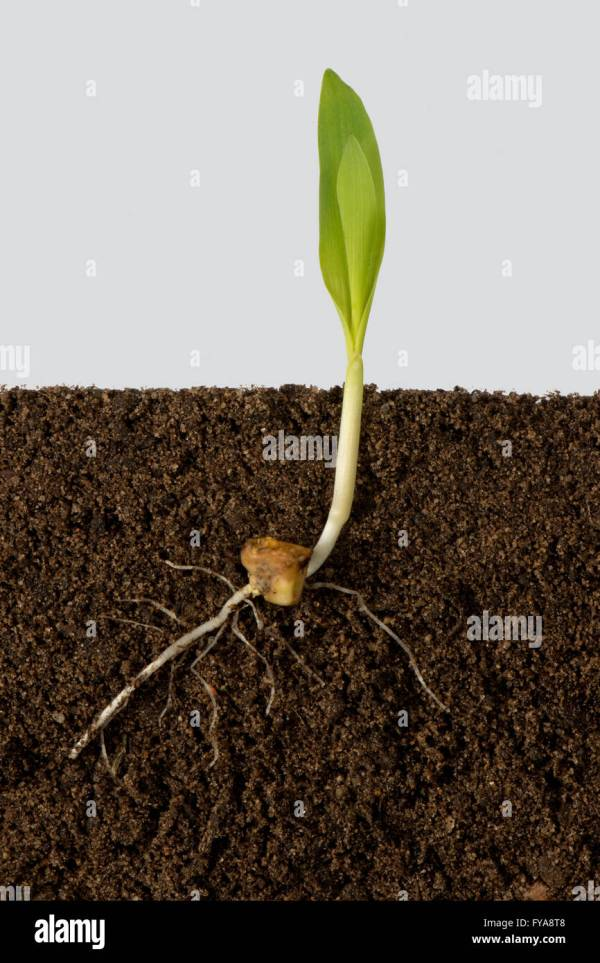 Corn Plant Seedling