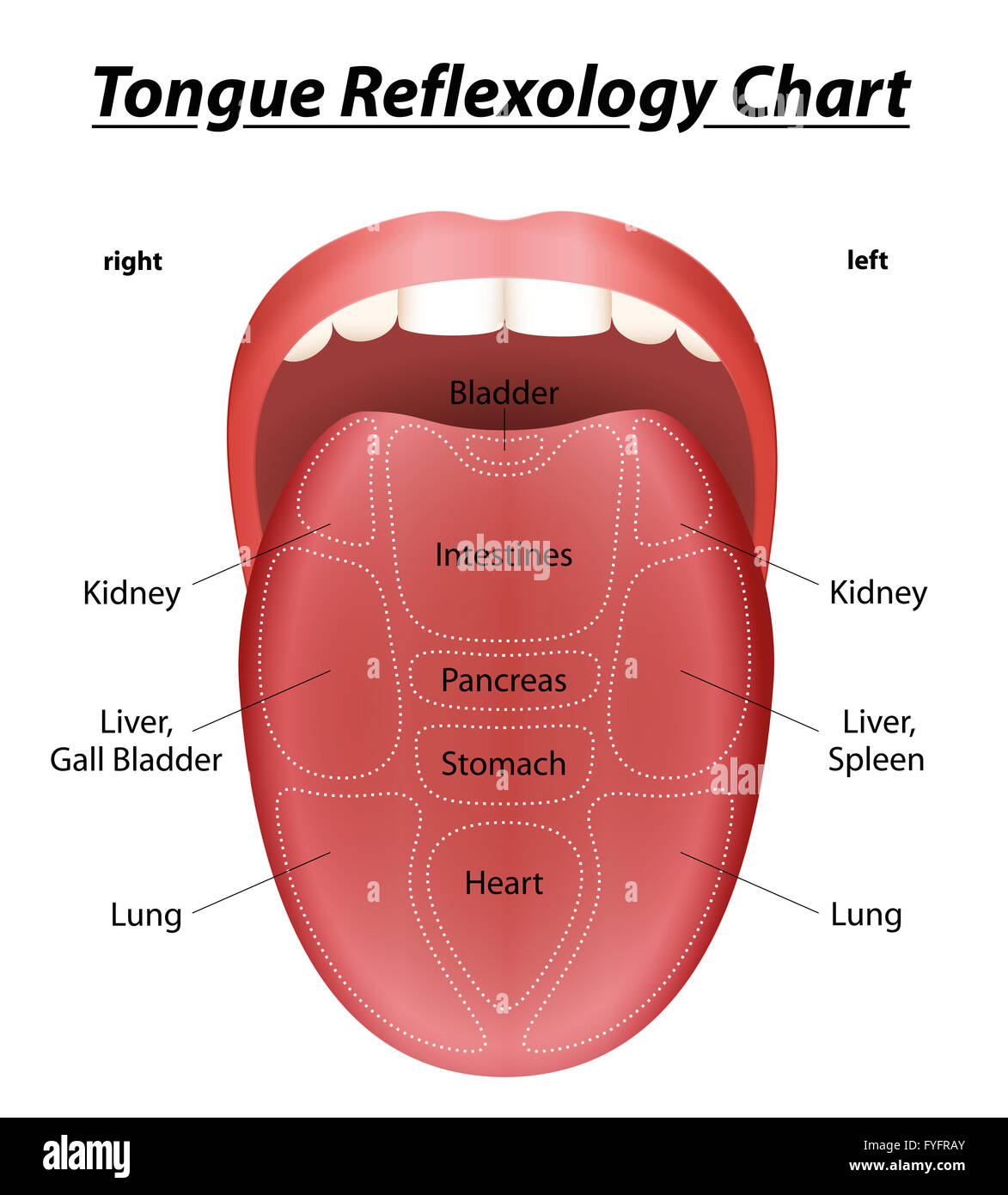 hight resolution of tongue reflexology chart with description of the corresponding internal organs illustration on white background