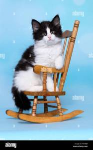Norwegian Forest Cat Kitten Sitting On A Small Rocking